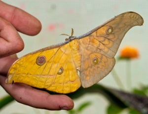 Dual Sex Moth