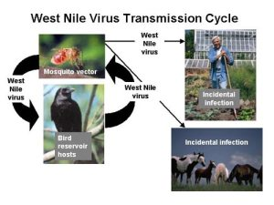 West Nile Cycle