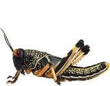 gregarious locust