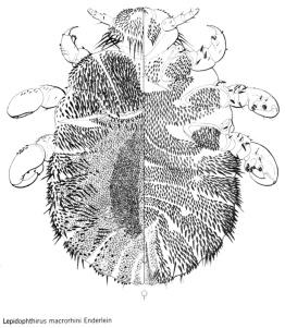 lepidophthirusmacrorhini
