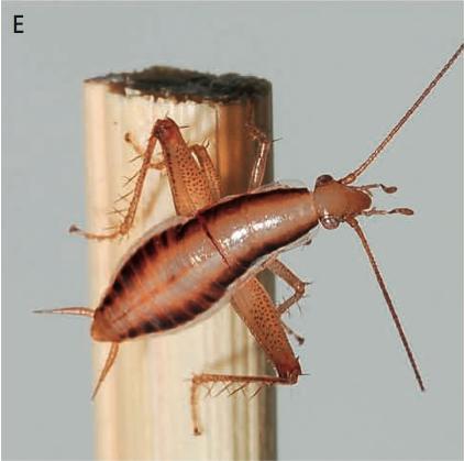 cockhopper