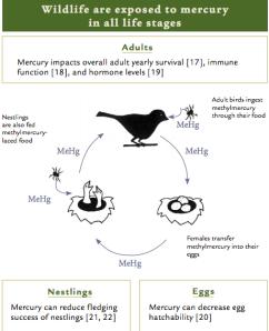 mercury and bird lifecycle