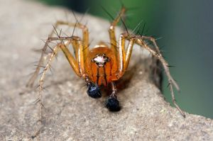 striped lynx spider (Oxyopes salticus)