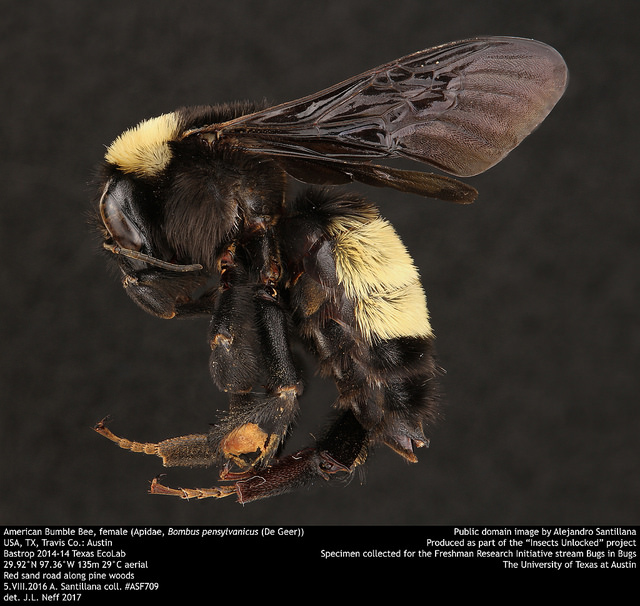 1170f92144c4 Bumble bees of Spring! – Bug Gwen