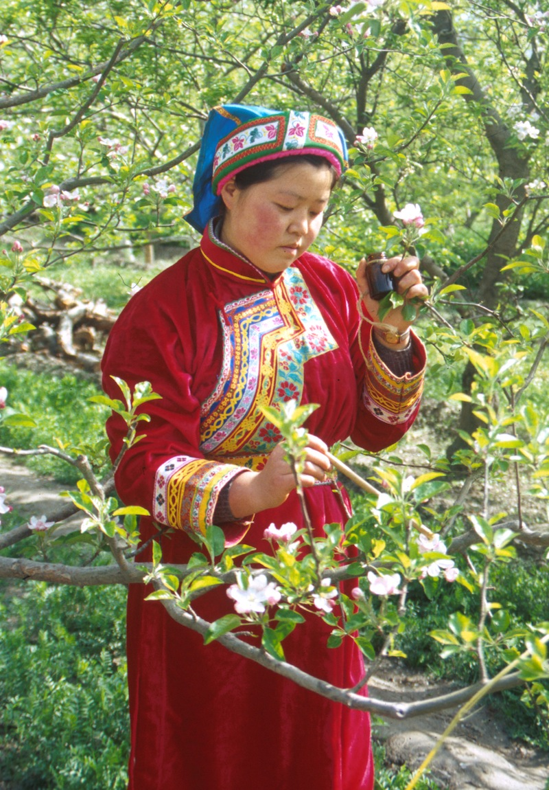 hand pollination in china